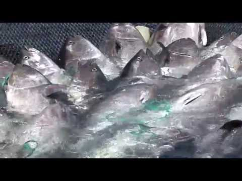 Madraba: bluefin tuna net fishing Morocco.La Madrague: une pêche aux thons rouges au Maroc.