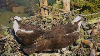 Дикая природа США Audubon 2016 Возвращение в старое гнездо Спаривание Ospreys copulate at old nest