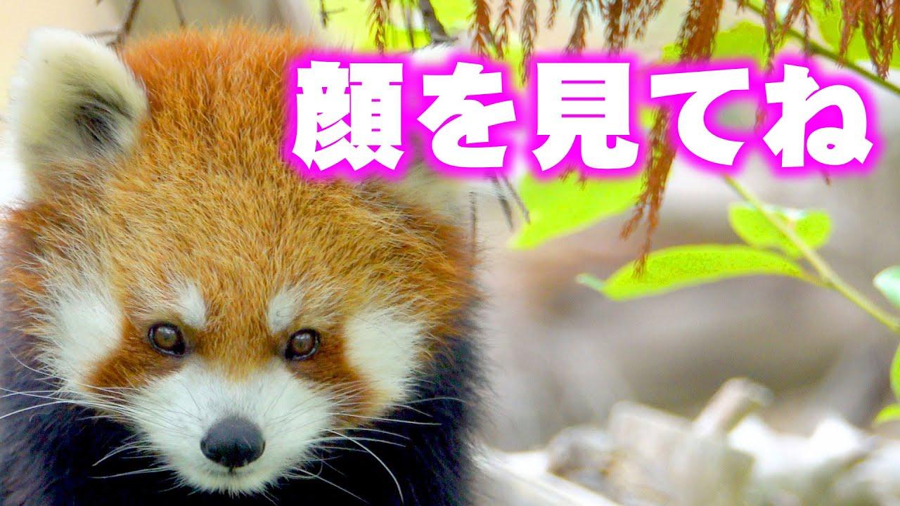 【レッサーパンダ】顔を見てね!ココ Red Panda COCO at Maruyama Zoo