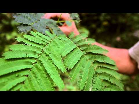 Chinese Herbs in America: Mimosa - Clearpath School of Herbal Medicine