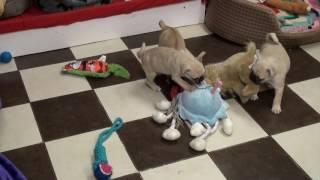Little Rascals Uk Breeders New Litter Of Fawn 3/4 Pugs
