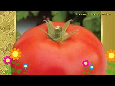 Томат обыкновенный Богатырь. Краткий обзор, описание характеристик, где купить семена Bogatyr\'