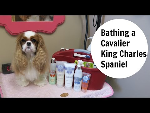 Bathing a Cavalier King Charles Spaniel- Part 1