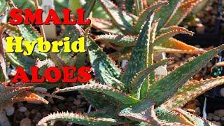 The Plant Traveller:  Small Hybrid Aloes  aloe 'Christmas Carol' aloe 'DZ'