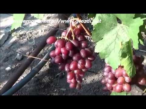 Сорт винограда: Сенатор
