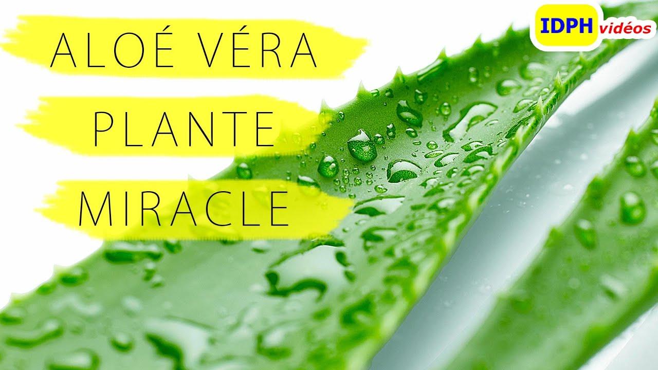 Image Plante Aloe Vera gel aloe vera plante miracle
