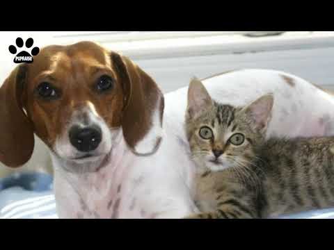 American Foxhound and cats - Everything about the breed