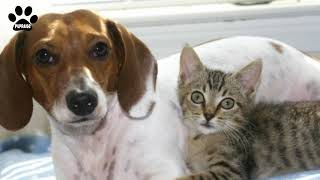 American Foxhound and cats  Everything about the breed