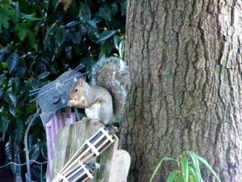 Beatiful Grey Squirrel eating a nut in portrait background