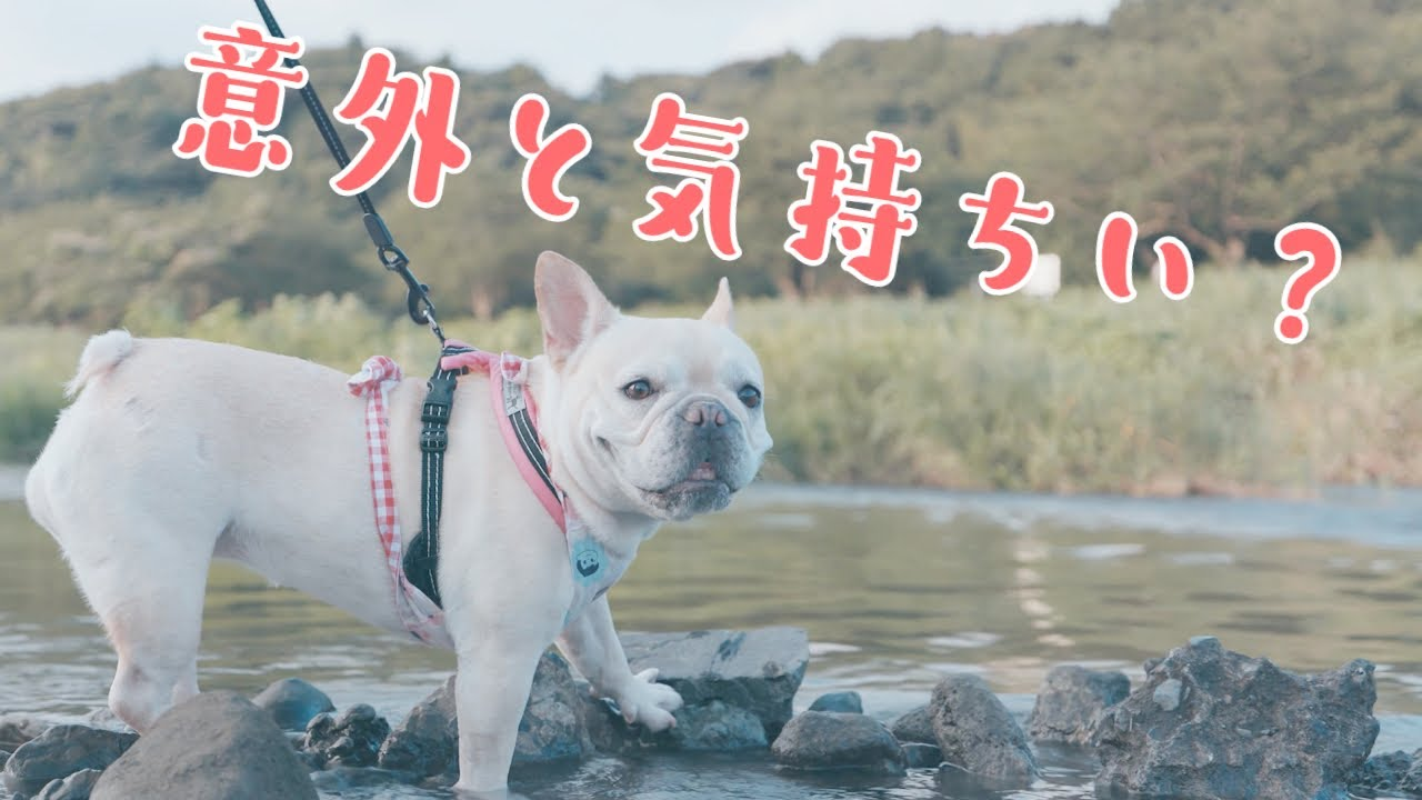 #361 夏休みは犬と一緒に川遊び【フレンチブルドッグのおかか vlog】【frenchbulldog】