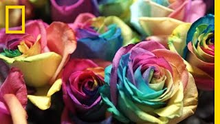 See How Valentine's Day Roses Make It From Ecuador to You | National Geographic