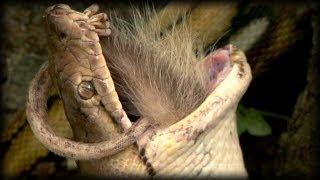 Python vs Opossum 01 - Dangerous Animals