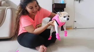 Funny Chihuahua Tries Shoes For The First Time | Ss vlogs :-)