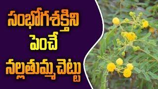 సంభోగ శక్తిని పెంచే నల్ల తుమ్మ చెట్టు   ||thumma chettu uses||nalla thumma chettu