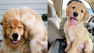 Golden Retriever Facts  10 Things You Should Know About Goldens
