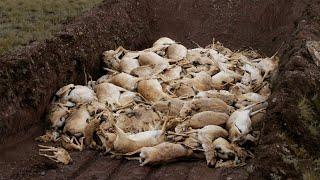 Массовое вымирание скота в Казахстане