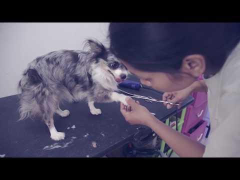 Как подстричь той терьера в домашних условиях видео