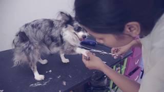 Как подстричь собаку в домашних условиях | Чихуахуа Софи(Чихуахуа Софи о том, как подстригать собаку в домашних условиях при помощи простых инструментов на примере..., 2016-01-26T10:27:04.000Z)