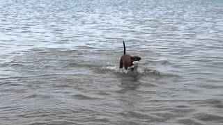 Picco(miniature Pinscher) Jumping In The Sea