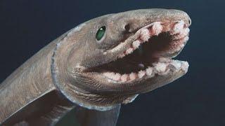 Un requin-lézard rarissime montre son étrange visage