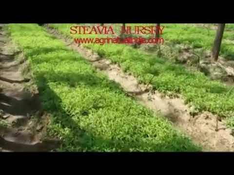 Stevia Nursery of Agri Natural India Ludhiana Punjab