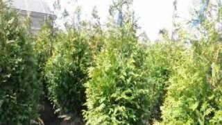 Pine tree Trimming