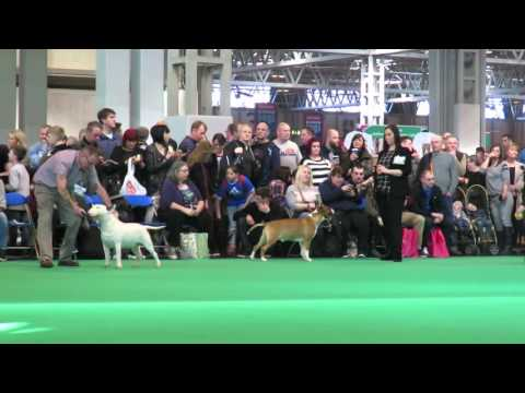 Crufts 2016 Bull Terriers Junior Class Judge: Danny McGregor