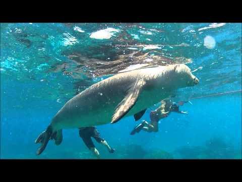 Diving with Hawaiian Monk Seal