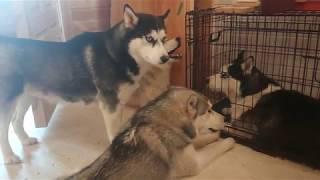Настоящие говорящие собаки . 4 Хаски общаются