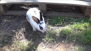 Den Bekaf 20160909 konijn Lisanne is een nestje aan het voorbereiden