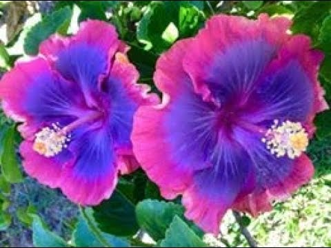 Top 50 Most Beautiful Gumamela Flowers Different Colors And