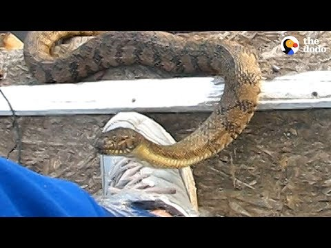 3 Snakes Get Some Help From A Human  | The Dodo