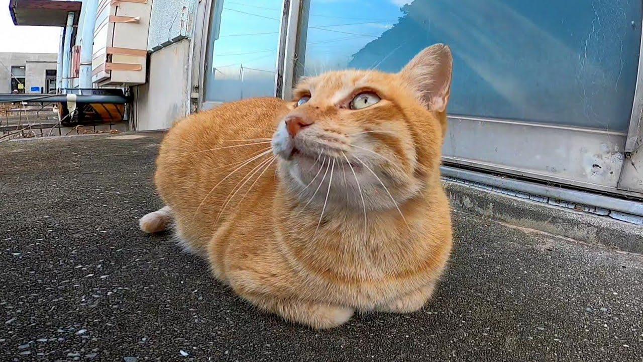 モフられ中にやって来たライバル猫を追払う茶トラ猫