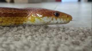 Two Corn Snakes Slithering On Carpet