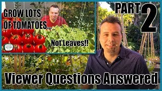 Grow Lots of Tomatoes... Not Leaves Part 2 // YOUR QUESTIONS ANSWERED