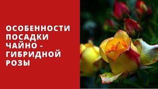 видео Полиантовые розы - описание, посадка, уход, выращивание