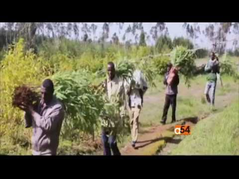 Bamboo Farming Market Expands in Ethiopia