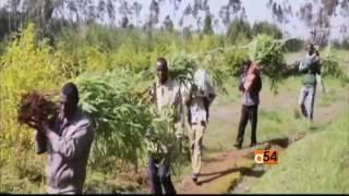 Bamboo Farming Market Expands in Ethiopia - በአፍሪካ ውስጥ 70 በመቶ የሚሆነው የሸንበቆ ጫካ በኢትዮጵያ ውስጥ ይገኛል ግን ቡዙዎቹ