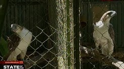 SONA: 2 Philippine Eagle, ipinadala sa Singapore sa ilalim ng Wildlife Loan Program
