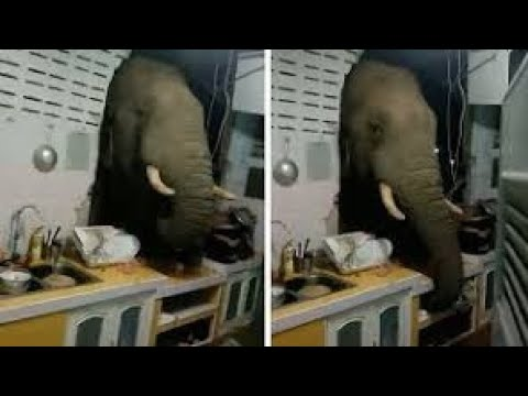 Elefante quebrou a parede de uma casa para procurar comida