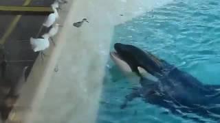 [衝撃映像]シャチが鳥に魚をあげると見せかけて・・・