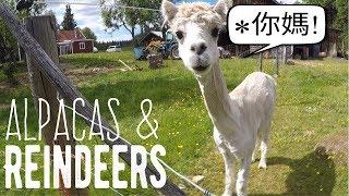 My Life in Sweden #4 - Alpacas & Reindeers! (in Idre)