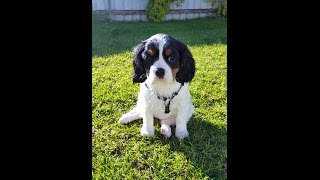 Ckcs 10 Week Old Puppy - Introducing Zoe!! Tricolour Female Cavalier King Charles Spaniel.