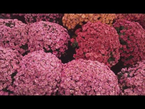 Виды и сорта хризантем - YouTube