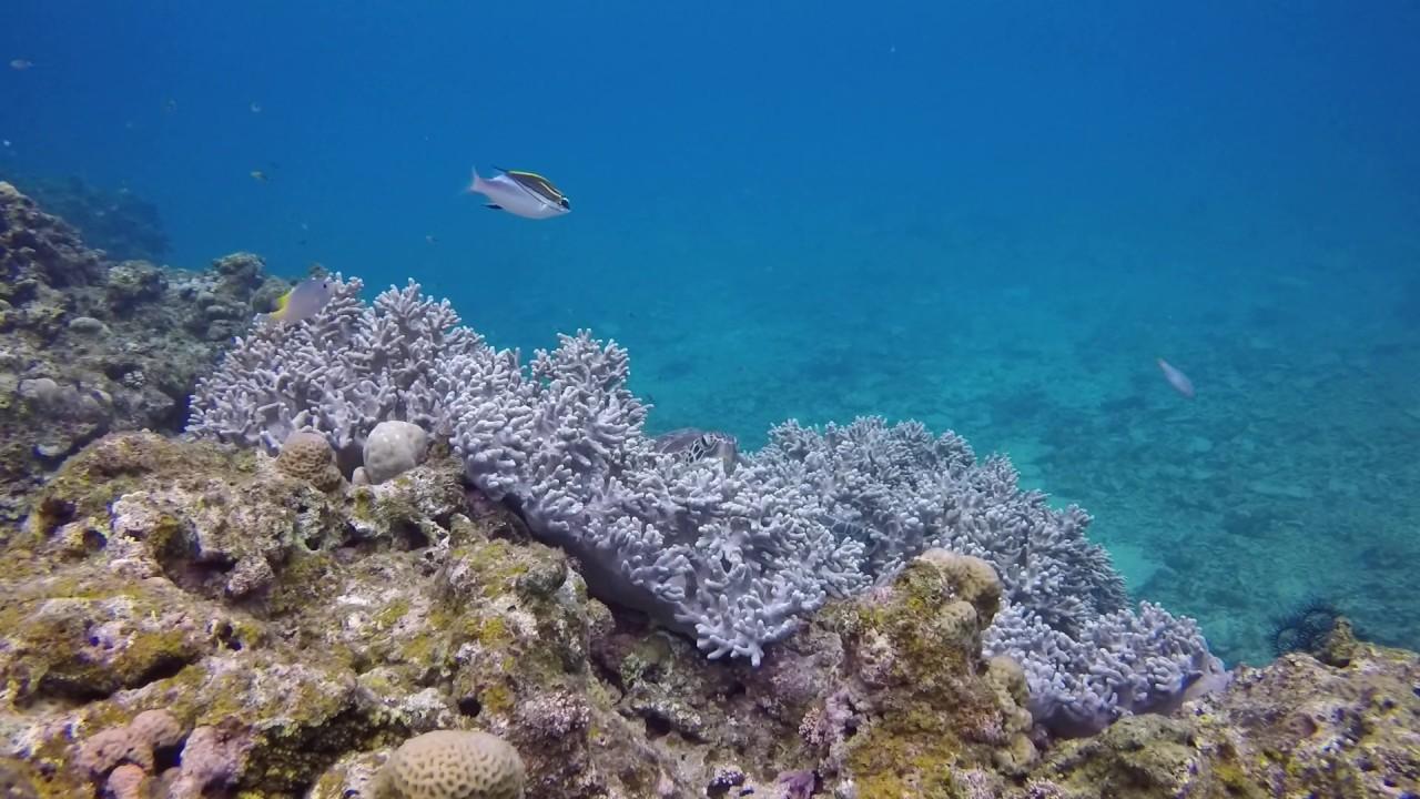【石垣島】珊瑚のベッドで休むウミガメ - YouTube
