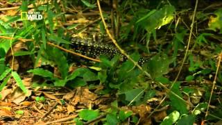 Brasil Selvagem - Jóias da Selva. Episódio 1 de 5