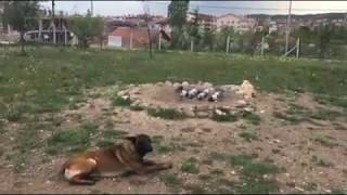 Ankara Güvercin - Eke Gök Bulut'dan Hedefe Geliyor !