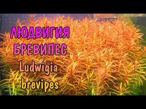 ЛЮДВИГИЯ БРЕВИПЕС ( Ludwigia brevipes )