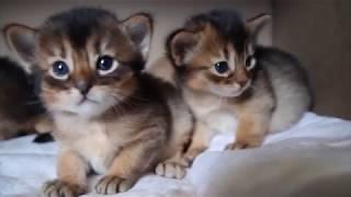 Котята сомали 1 месяц