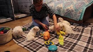 Coton de Tulear Puppies For Sale - Foxy 8/10/21